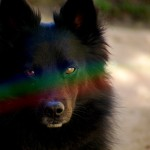 Somewhere over the schipperke…