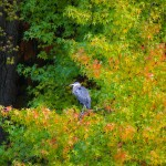 Heron in the autumn