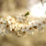 Prime Blossom