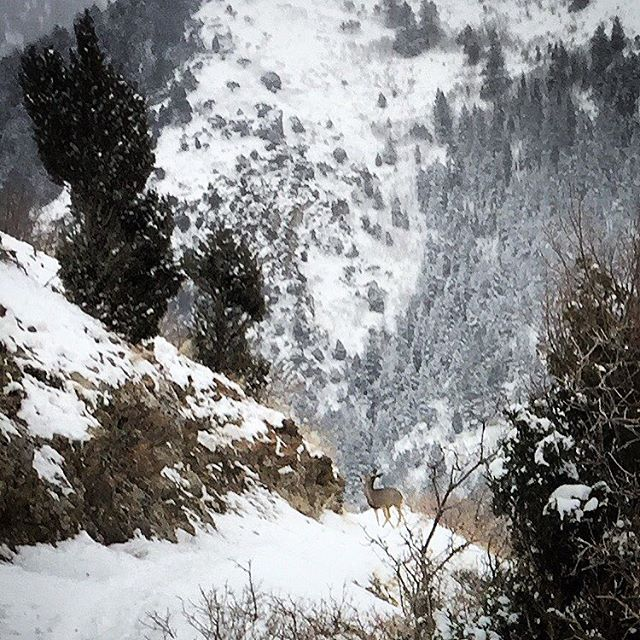 By parental demand, another deer shot #deer #snow #hashtag #run #enhance #slc #millcreek #utahisrad #venado #monarchoftheglen #streamofconsciousness #winter #hashtagexperiment